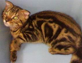 bengal cat rescue bengal cat for adoption from johor kulai adpost