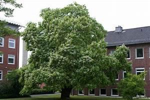 Kugel Trompetenbaum Schneiden : trompetenbaum catalpa bignonioides trompetenbaum pflanzen ~ Lizthompson.info Haus und Dekorationen