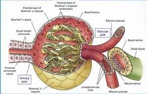 Human Kidney Filter  Human  Free Engine Image For User