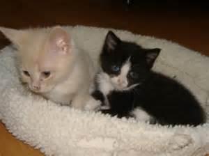 baby cats for adoption newborn kittens adoption pets world