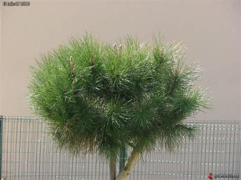 maladie du pin parasol cela permettra de produire des pins de taille shohin dont les courbes et