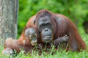 Mother Orangutan With Her Cute Baby - Orangutan Facts and ...