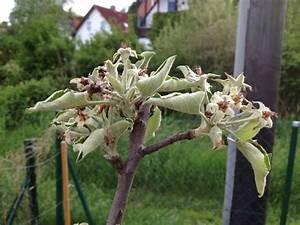 Himbeeren Krankheiten Bilder : apfelbaum welkt dahin seite 3 forum auf ~ Lizthompson.info Haus und Dekorationen
