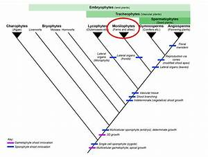 Phylogenetic Tree Of Land Plants | www.pixshark.com ...