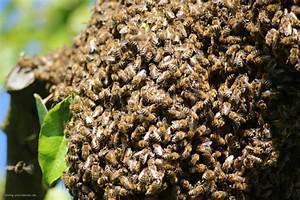 Warum Machen Bienen Honig : der bienenstaat als organisationsform honig und bienen ~ Whattoseeinmadrid.com Haus und Dekorationen