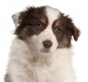 Red Border Collie Puppy