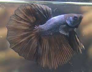Rare Betta Fish Colors