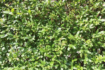 Schnellwachsende Immergrüne Sträucher by Immergr 252 Ne Str 228 Ucher Schnellwachsende Ziergeh 246 Lze