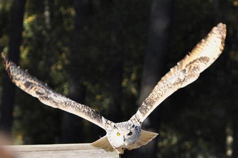 photo owl eagle owl flight raptor  image