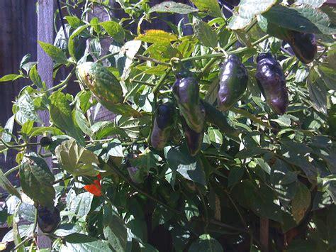 rocoto chilli  tree chilli  hotlips chilli rheum