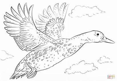 Duck Mallard Coloring Drawing Pages Flight Ducks