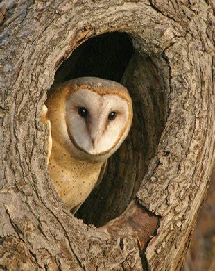 barn owl habitat barn owls habitat
