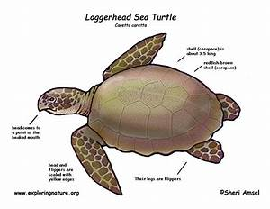 Sea Turtle  Loggerhead
