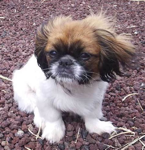cute dogs black pekingese dog