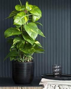 Plante Intérieur Grimpante : le scindapsus la plante grimpante des astronautes galerie photos d 39 article 6 9 ~ Louise-bijoux.com Idées de Décoration