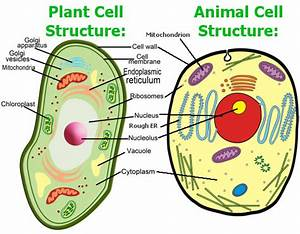 Parts Of The Cell  Animal And Plant