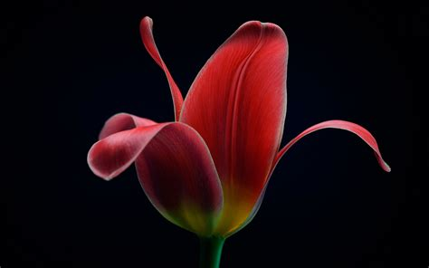 red tulip flower macro black background wallpaper