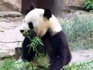 Cute Baby Pandas Eating Bamboo   www.pixshark.com - Images ...