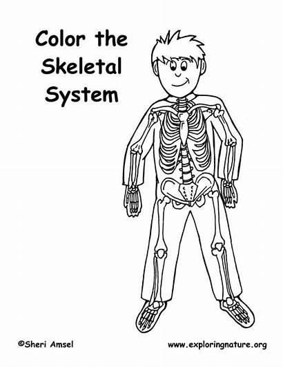 Coloring Skeleton Skeletal System Elementary Pdf Exploringnature