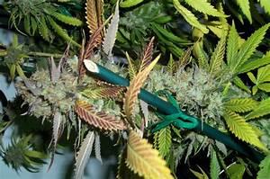 Lucid Bolt  Paradise Seeds     Cannabis Strain Info