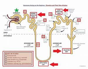 Diuretics And Site Of Action