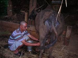 Kaka milking the water buffalo