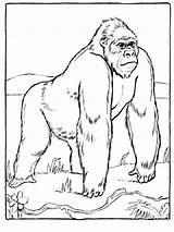 Coloring Ausmalbilder Gorillas Gorilla Animals Ausdrucken Malvorlagen Kostenlos Zum sketch template