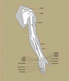 Human Arm Bone Structure