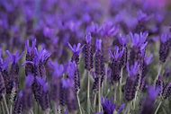 Purple Lavender Flowers Plants