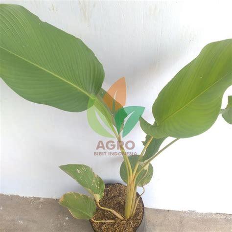 jual tanaman pohon pisang kalatea agro bibit id