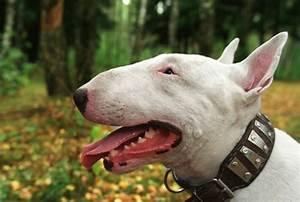 The dog in world: Bull Terrier dogs