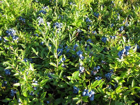 Bonnymans' Wild Blueberries - LocalHarvest