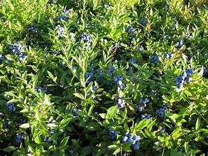 Bonnymans' Wild Blueberries - LocalHarvest