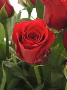 Begleitpflanzen Für Rosen : rosen upper class rot bestellen blumigo ~ Lizthompson.info Haus und Dekorationen