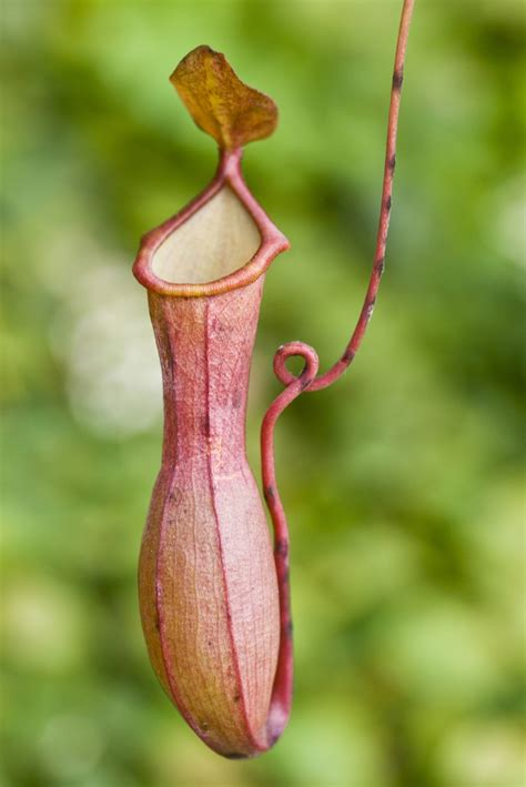 pitcher plant information about the pitcher plant with amazing pictures