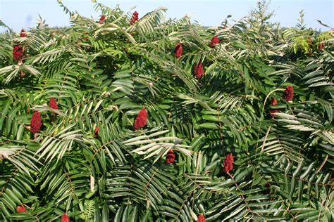 sumac trees foraging series part 1 staghorn sumac the crunchy delinquent