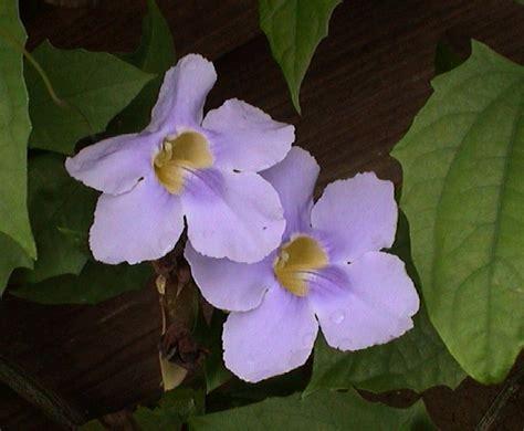 vine with purple flowers purple vine flowers pics4learning