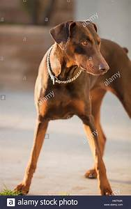 Red Doberman Pinscher Standing In A Patio Focused On Owner