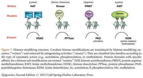 Modification Histone by Histone Modifying Enzymes Covalent Histone Modifications