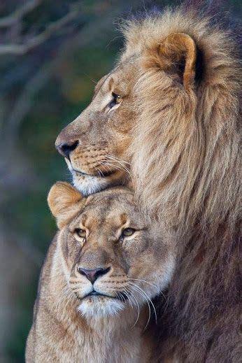 lion couple  images animals beautiful animals