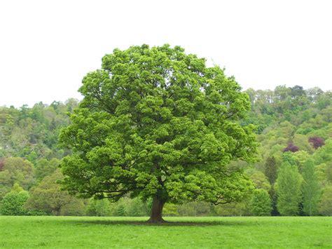 tree foliage tuesday s tree sycamore dancing beastie