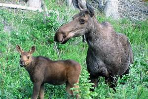 Moose / Elk Facts and Adaptations - Alces alces