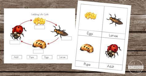 cycle of a ladybug worksheets 651 | ladybug fb