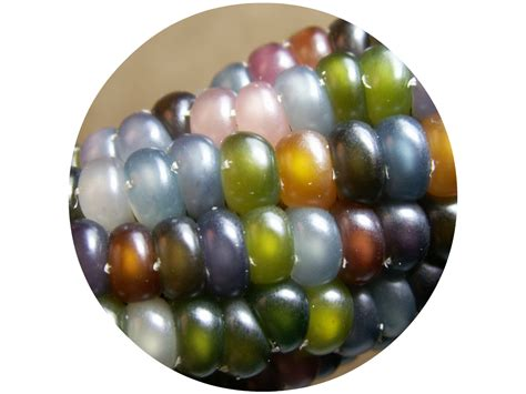 glass gem sweet corn shrimpton and perfect mother nature s jewels