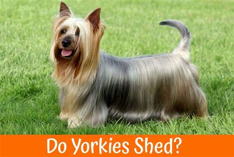 do yorkies shed zyrtec for dogs the best allergy medication a guide