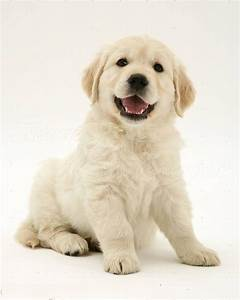50 Most Adorable Golden Retriever Dog and Puppies Gallery