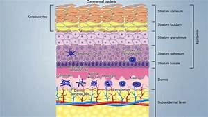 The Immune System And Immunity In Swine  Skin