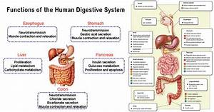Functions of The Human Digestive System | Human Physiology