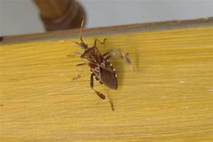 Insecte De Maison : insecte charpente identification rayon braquage voiture ~ Melissatoandfro.com Idées de Décoration