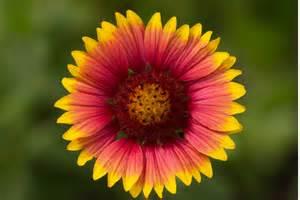 blanket flower gaillardia aristata naturetime